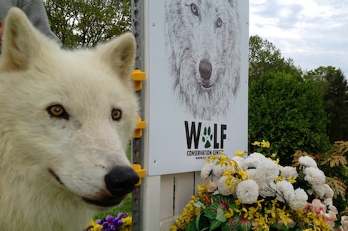 Atka, a representative from the Wolf Conservation Center in Brewster, NY, visited Old Salem Spring Horse Shows last year.